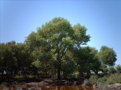 Это дерево - мой ровесник